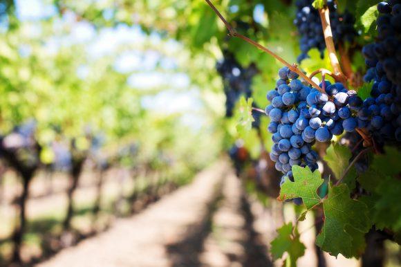 Poziv na besplatnu edukaciju o vinogradarstvu